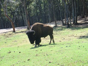Buffalos Face the Challenges of the Storm